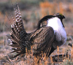 Gunnison Sage Grouse