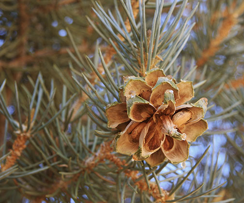 Pinyon Pine Cone (Jane Shelby Richardson/Wikimedia Commons)