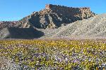 Factory Butte Area in Bloom